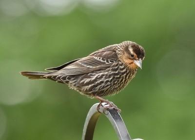 DSC_0476 Female Red Wing Blackbird