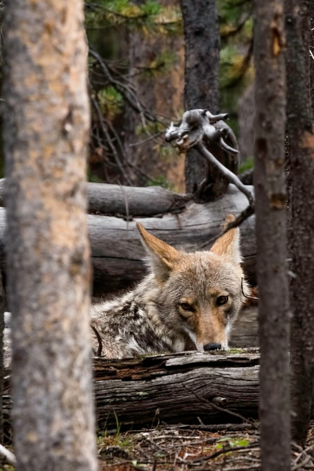 coyote overseer  by LeviLangerakPhotography - Fallen Trees Photo Contest