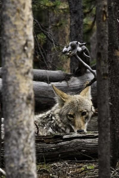 coyote overseer
