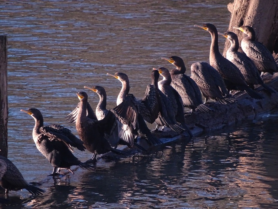 Cormorants soaking up the sun on a chilly day along the Willamette River