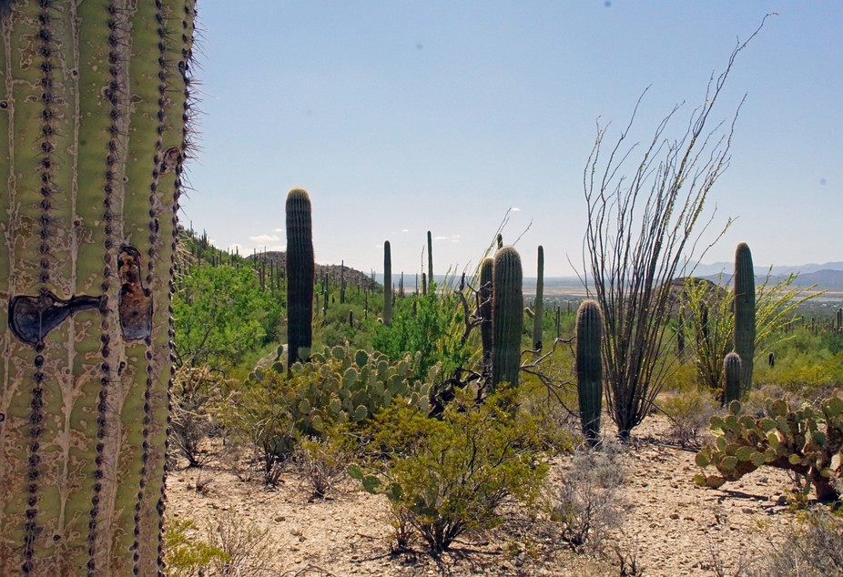 A view of the Sonoran Desert Just West of Tucson, AZ