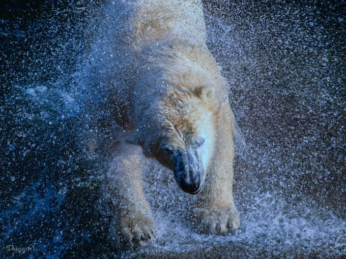 Exploding bear by DaggiM - Bears Photo Contest