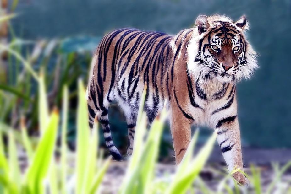 Sumatran tiger, Adelaide Zoo.
