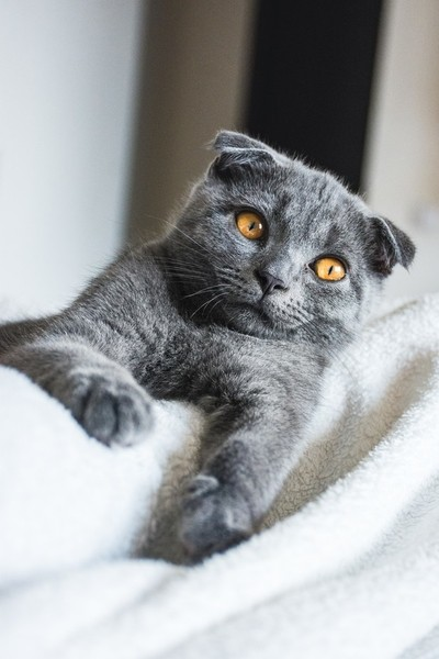 Maurice - Scottish Fold