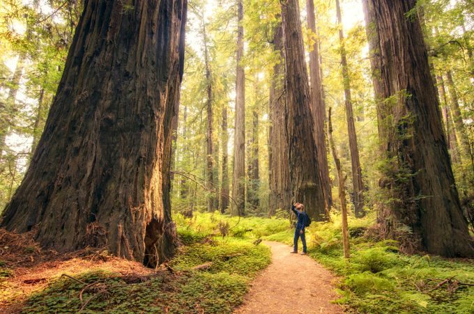 Golden Redwoods by TheSeeker - Creative Compositions Photo Contest Vol5