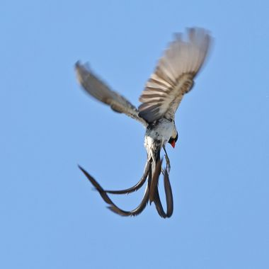 Pin-Tailed Whydah IMG_2628