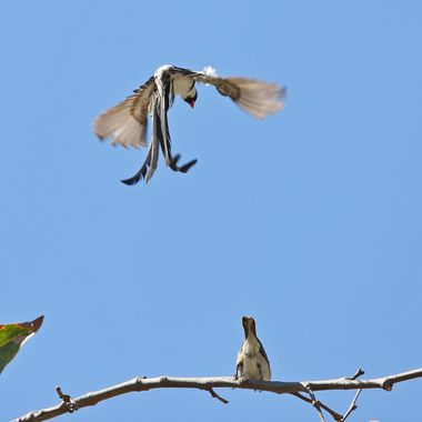 Pin-Tailed Whydah IMG_2654
