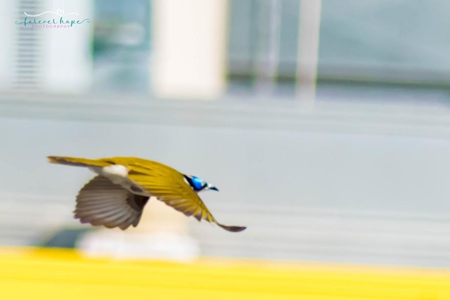 Blue-Faced Honeyeater Caught On Camera