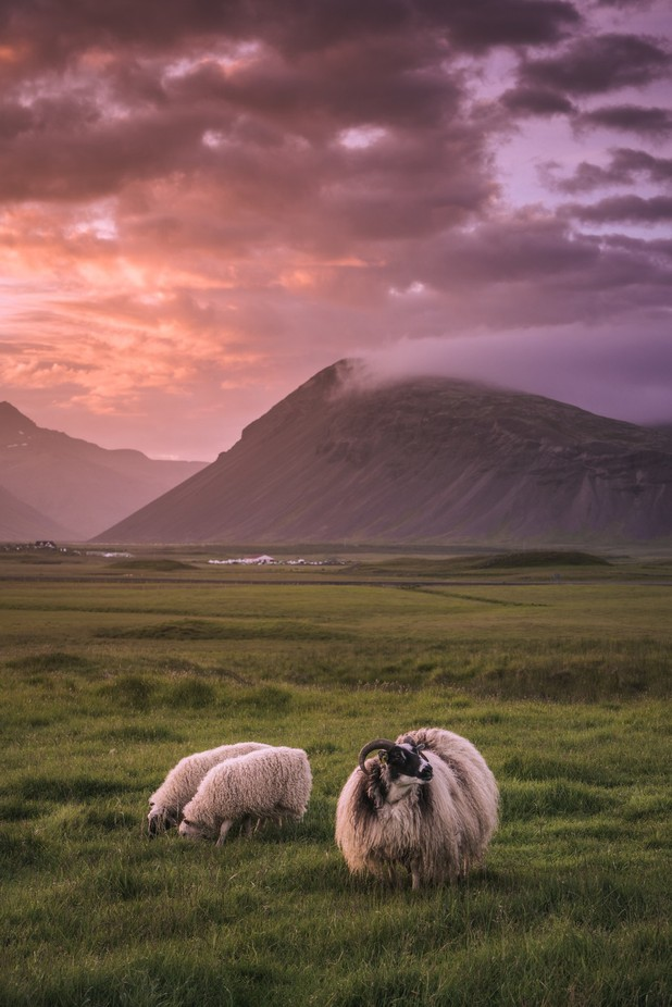 Icelandic Sheep at Sunset by nickelphoto - Farms And Barns Animals Photo Contest