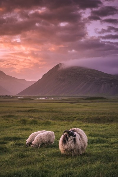 Icelandic Sheep at Sunset