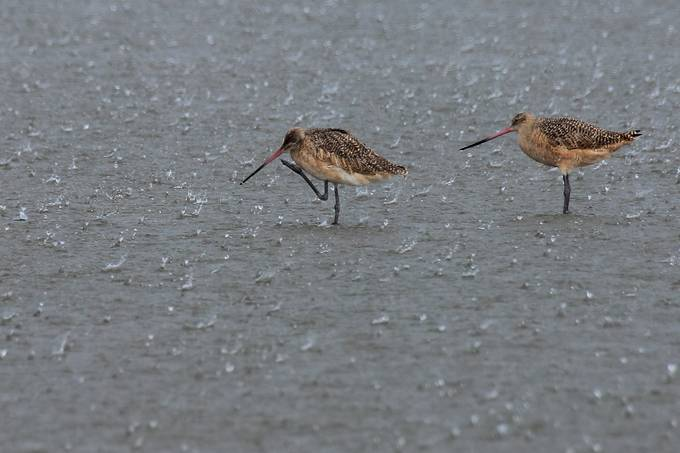 It started to rain while I was stalking these marbled godwits and thought it would be an interesting photo.