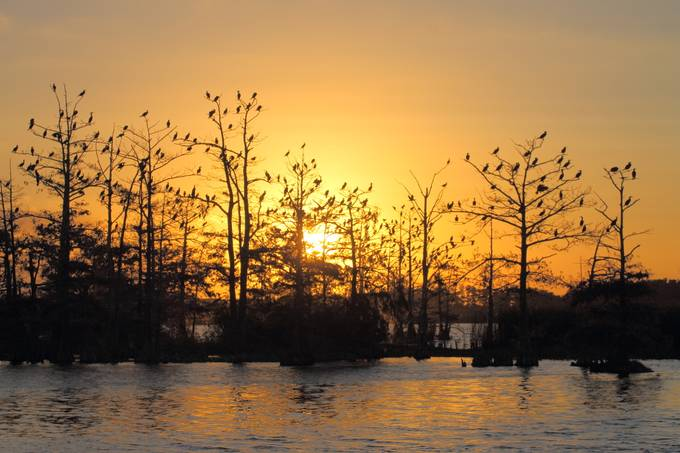 Sunrise on the Bayou. The birds are a mix of cormorants and anhingas.