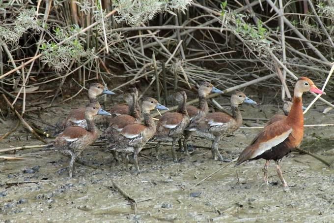 A family of black-bellied whistling ducks in the wild.