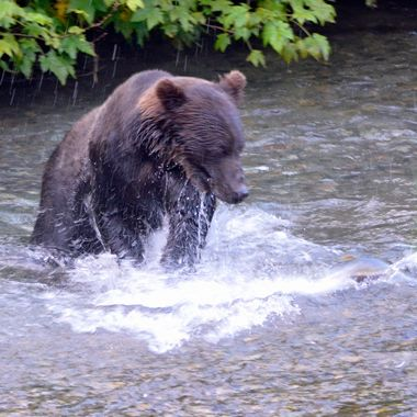 This is the one time that this grizzly MISSED a fish!  Hyder, Alaska, August 2017