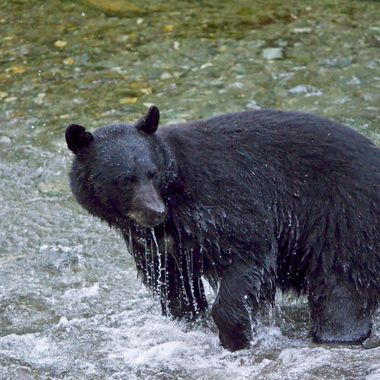 This bear just had no luck! Hyder, Alaska, August 2017