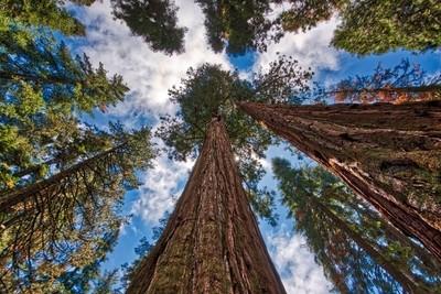 Sun Peeks From Behind Sequoia Tree
