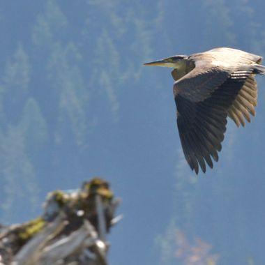 Flying free Hyder, Alaska, August 2017