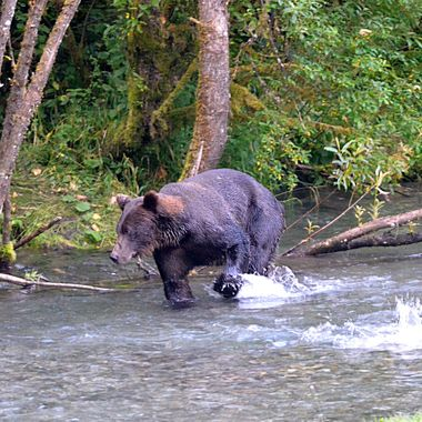 Grizzly chasing after a chum salmonHyder, Alaska, August 2017