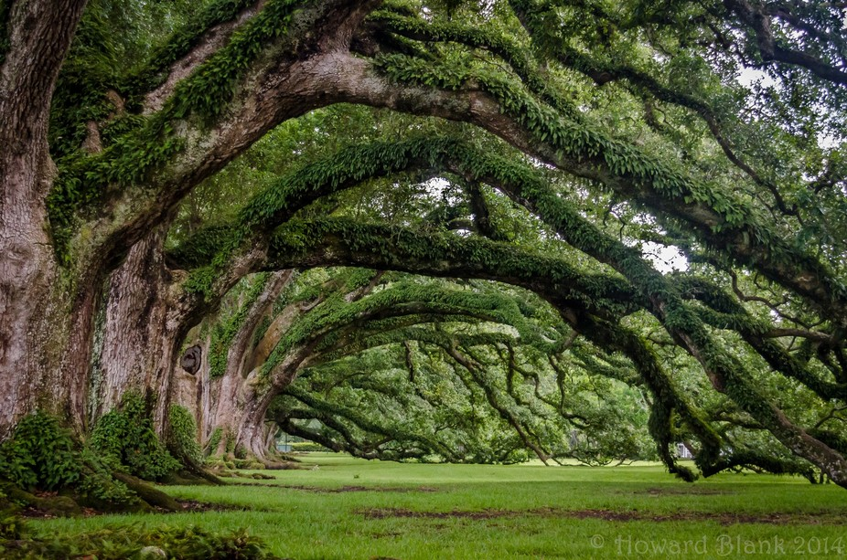 Live oaks at the Oak Alley Plantation, Louisiana
