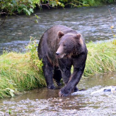 There were so many salmon, this grizzly had no problem turning his nose up at this salmon.  Hyder, Alaska, August 2017