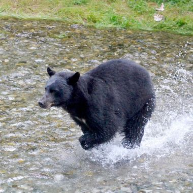She was chasing a salmon.  It was amazing how fast she could run! Hyder, Alaska, August 2017