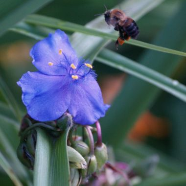 A bumble bee flying to a blue flower
