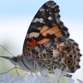 This butterfly is part of a large migration...and she has such a cute face!