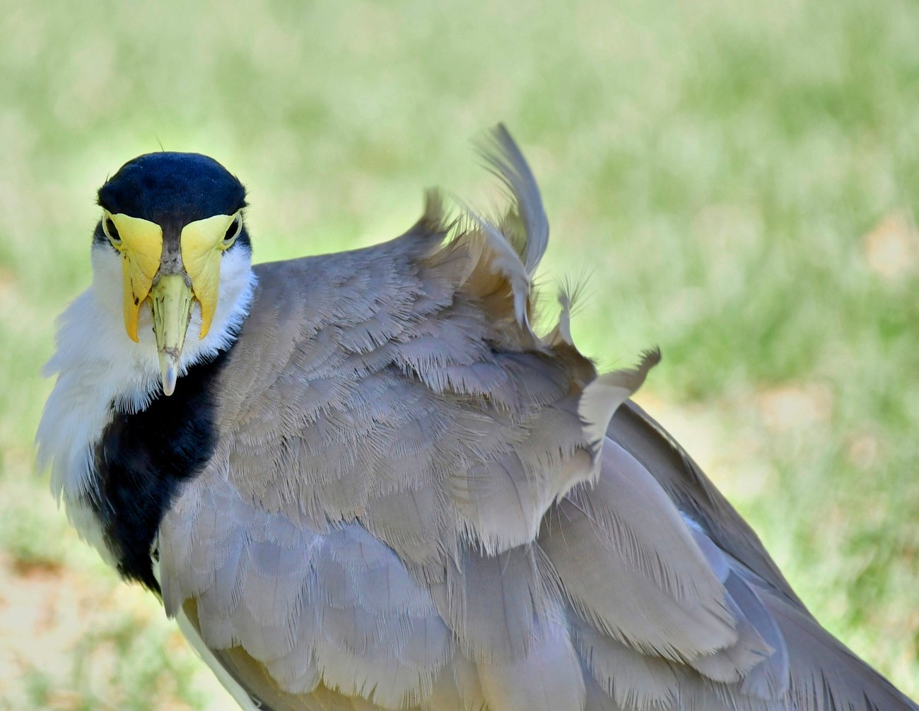 The masked lapwing (Vanellus miles), also known as the masked plover and often called the spur-winged plover or just plover in its native range, is a large, common and conspicuous bird native to Australia, particularly the northern and eastern parts of the continent and New Zealand.  Note the unique yellow wattles.  This photo was taken in a park along the Sydney Harbor on the way to the Opera House.