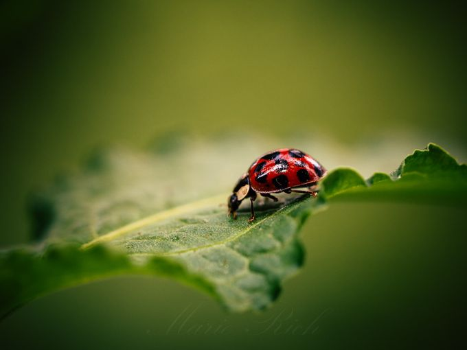 ** Asian Ladybug ** by Marierich - Monthly Pro Vol 35 Photo Contest