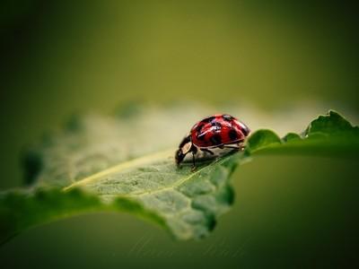 ** Asian Ladybug **