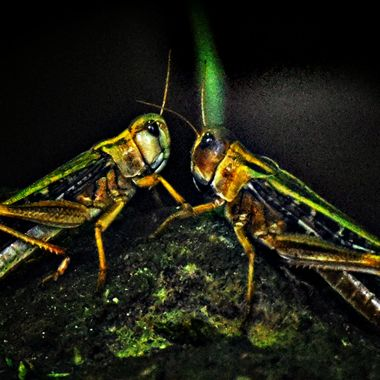 2 Locusts having a meeting.