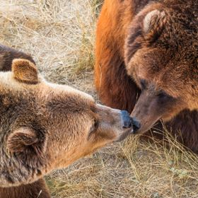 Bearly a Kiss