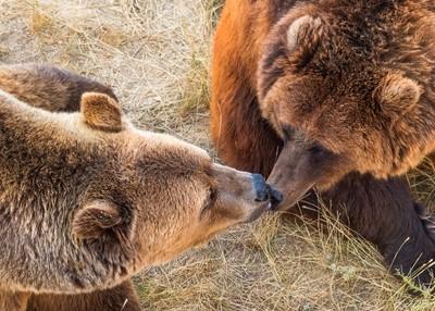 Bearly a Kiss