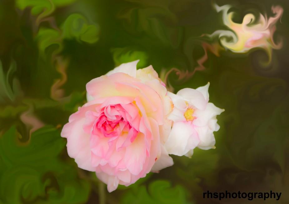Autumn Pink Rose A