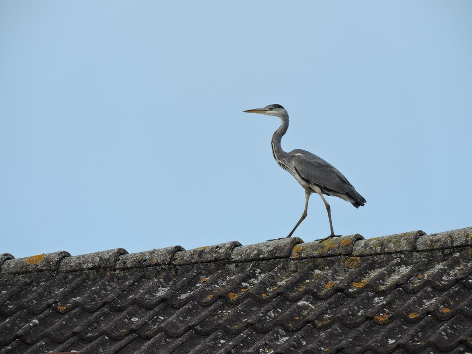 Just a heron chilling on the roof!