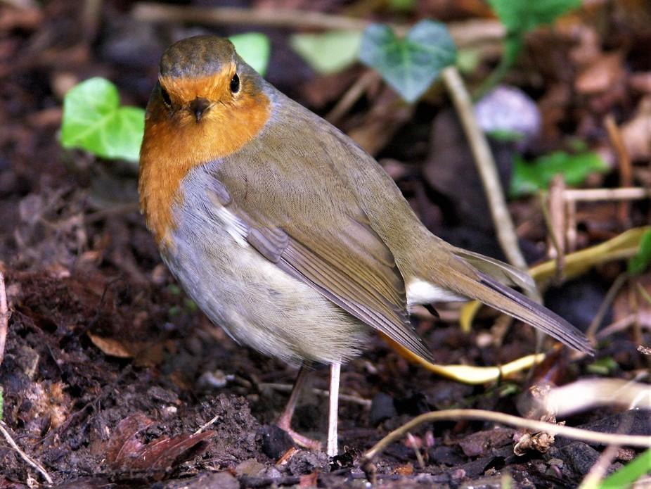 Robin looking at you!