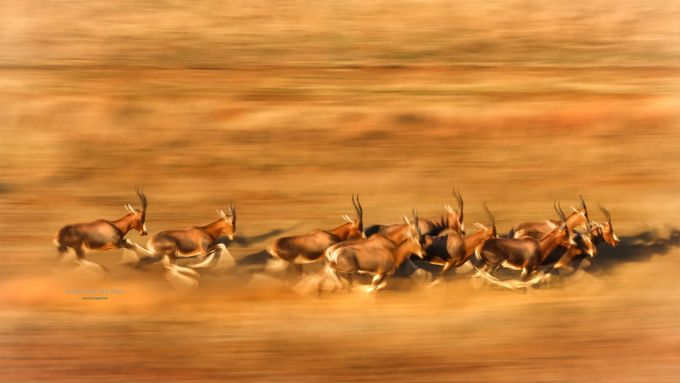 Blesbok on the run by rudievanderberg - Running Photo Contest