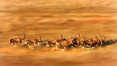 Blesbok on the run