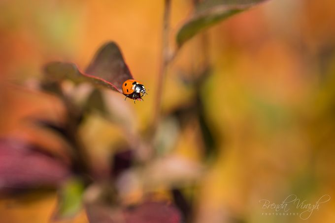 Autumn ladybug by bvphotosnap - Macro Games Photo Contest