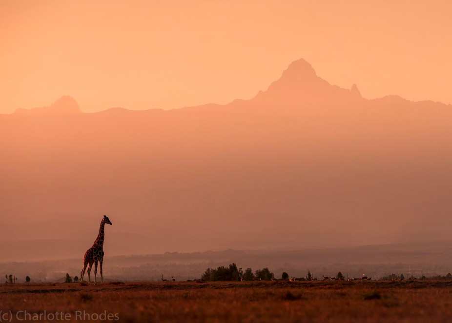 A giraffe at dawn, in front of Mount Kenya