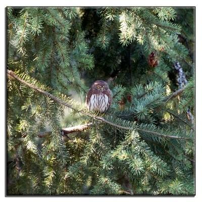 Northern-Pygmy-Owl