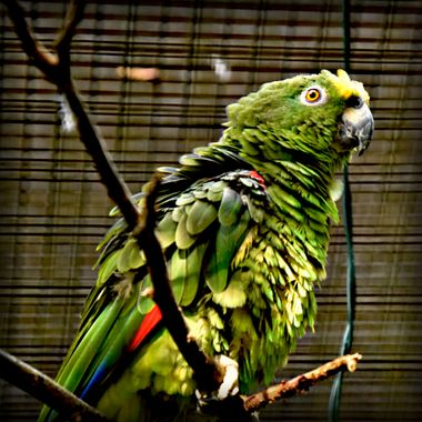 Parrot with ruffled feathers.
