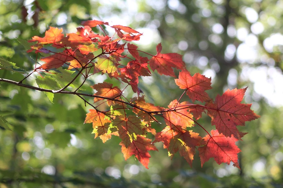 I think Maple trees have my favorite leaves in the Fall. Michigan has such a variety of trees and...