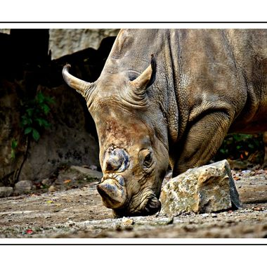 A Rhino in Osnabrück Zoo.