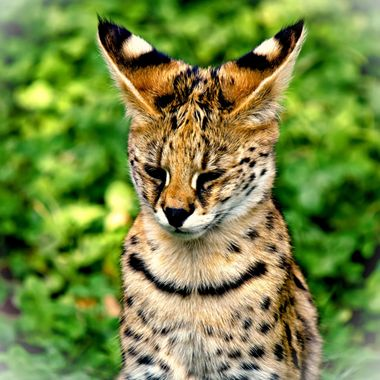 A Serval posing for the Camera.