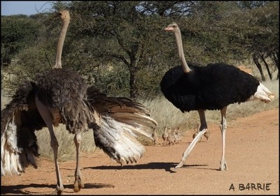 Ostrich parents and babies