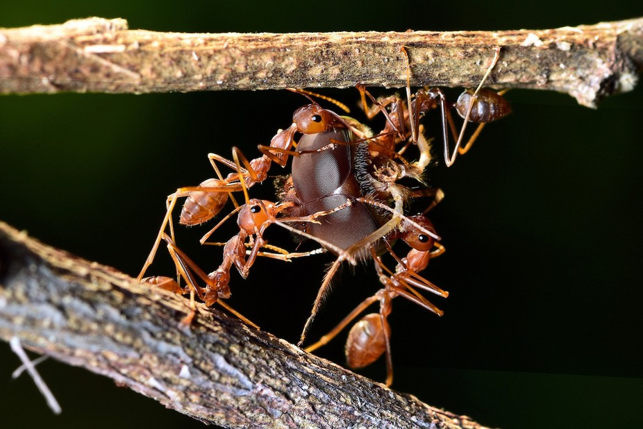 The ants has great teamwork.