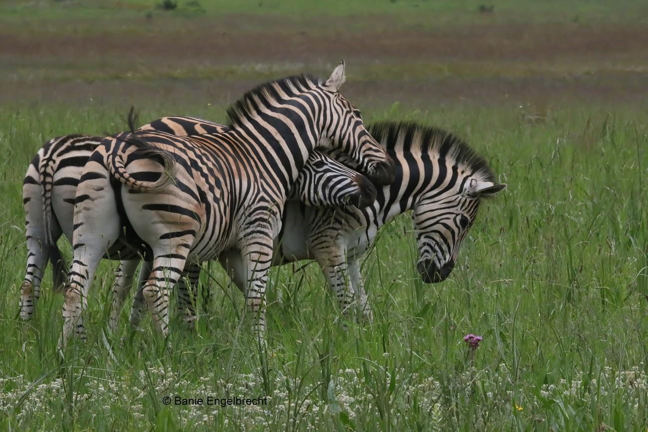 Photo of three zebra taken at Rietvlei Nature Reserve