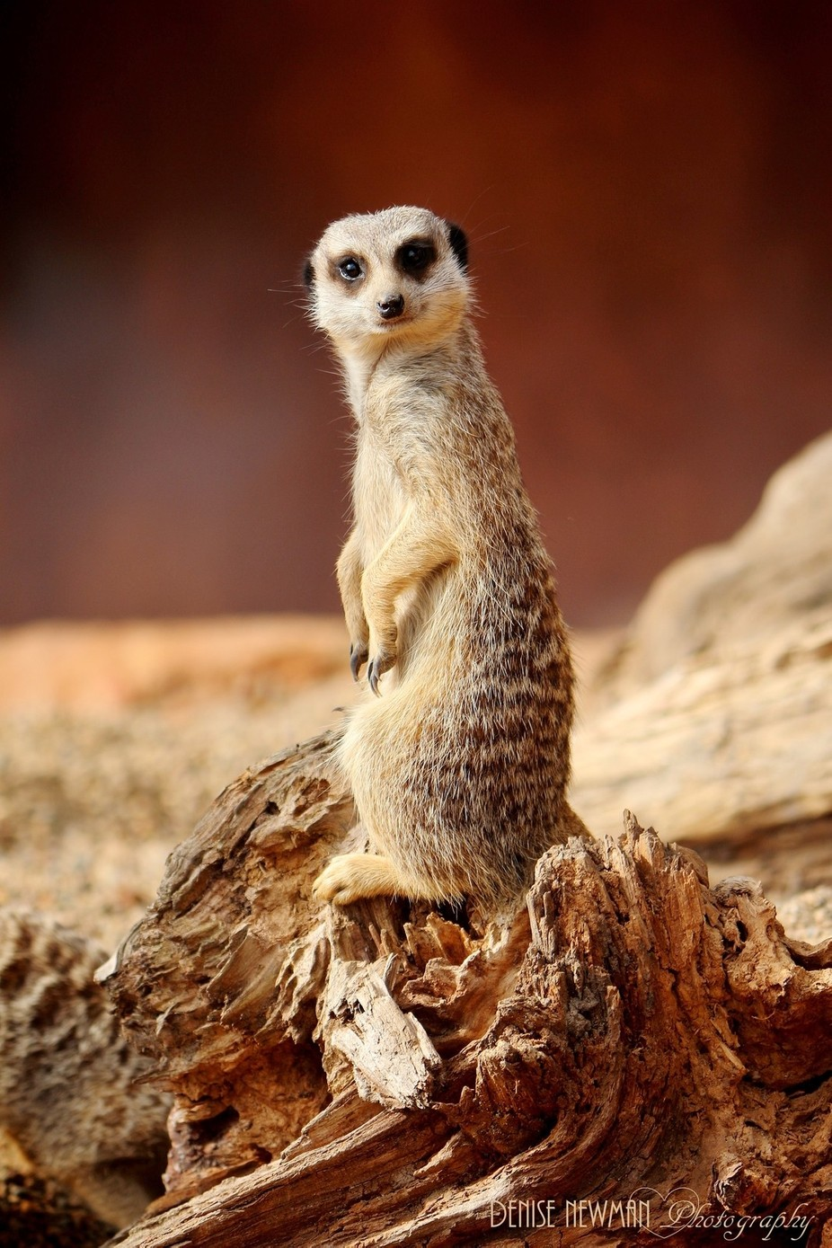 Cautious and wary - Meerkat by denisenewman - Image Of The Month Photo Contest Vol 27