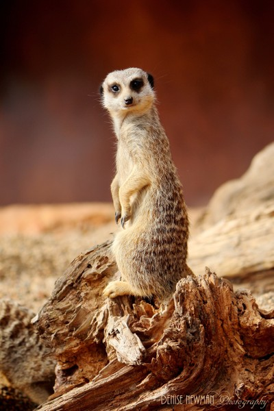 Cautious and wary - Meerkat